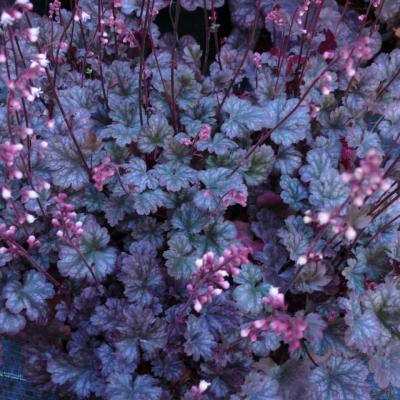 heuchera-petite-marbled-burgundy-qpr.jpg